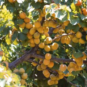 Aprikoskärnolja eko