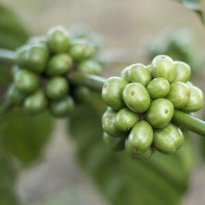 Grön kaffeolja 30 ml