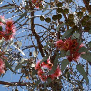 Eterisk olja – Eucalyptus radiata eko 10 ml