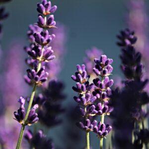 Lavendel 50 gr