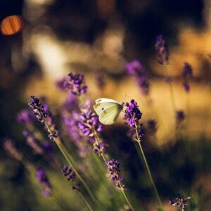Lavendel bulgar / Lavender bulgar 10 ml