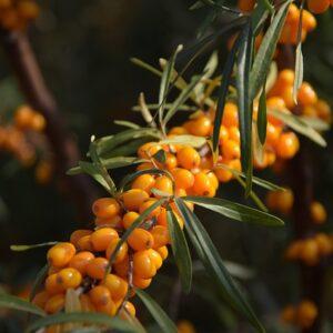 Havtornsfruktsolja 30 ml  SLUT