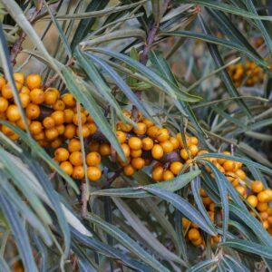 Havtornsfruktsolja 30 ml