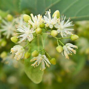 Lindblom absolut / Linden blossom absolut  5 ml