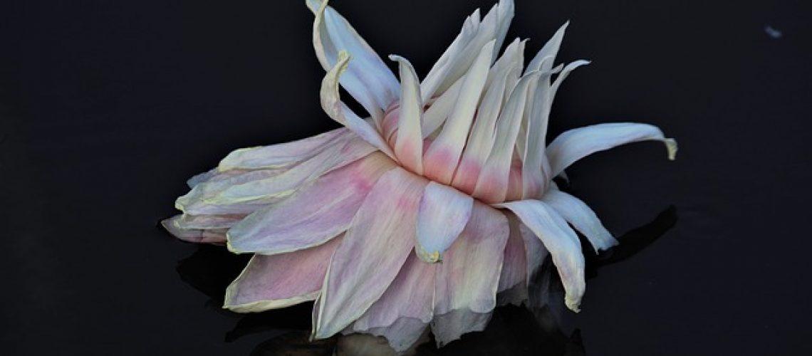lotus-3606607_640