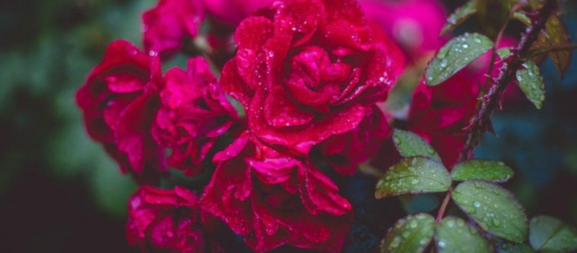 Rosor i regn.